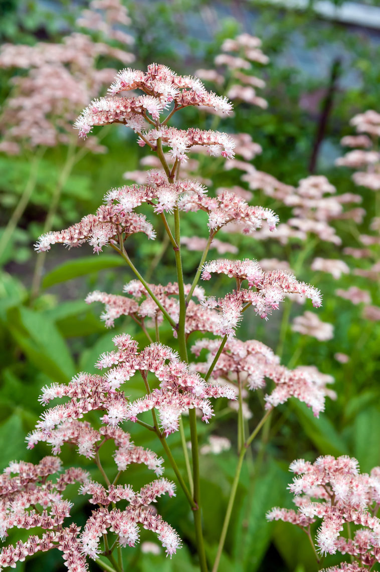 Rodgersia blooming
