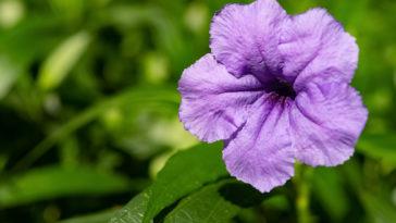 False petunia, Ruellia brittoniana