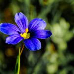 Blue-eyed grass, Sisyrinchium angustifolium