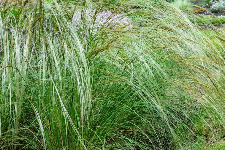 Stipa, feather grass