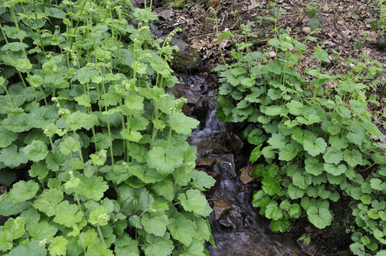 Fringecups - Tellima grandiflora