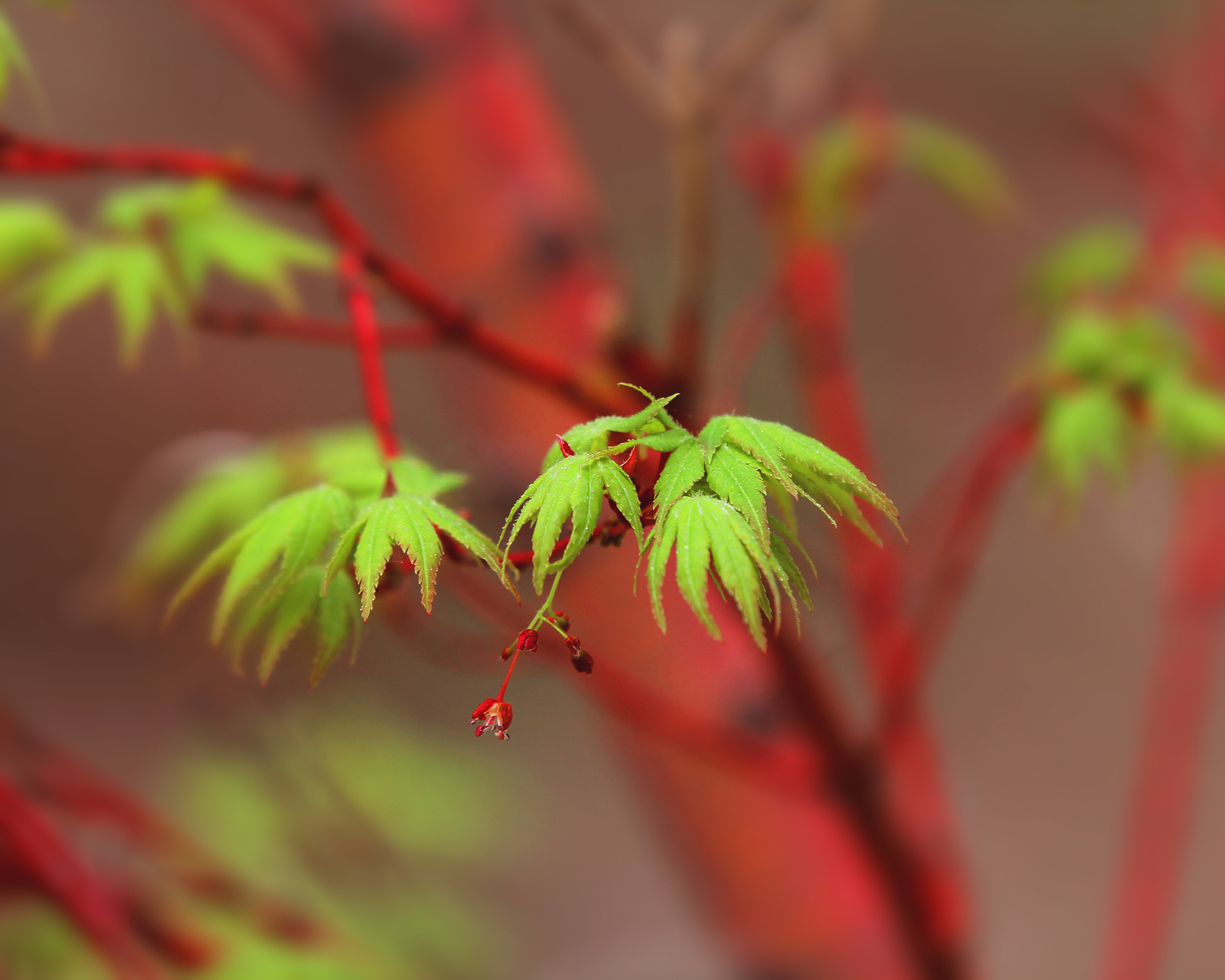 Acer palmatum san