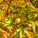 Horse chestnut, Aesculus parviflora, in autumn