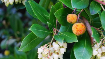 Arbutus flowers and fruits