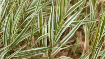 Ribbon grass, Phalaris arundinacea