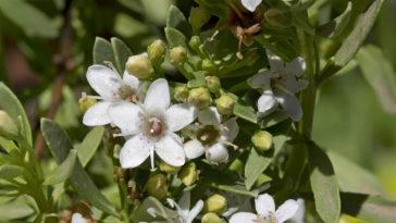 Myoporum parvofolium flowers