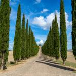 Italian cypress, Cupressus sempervirens