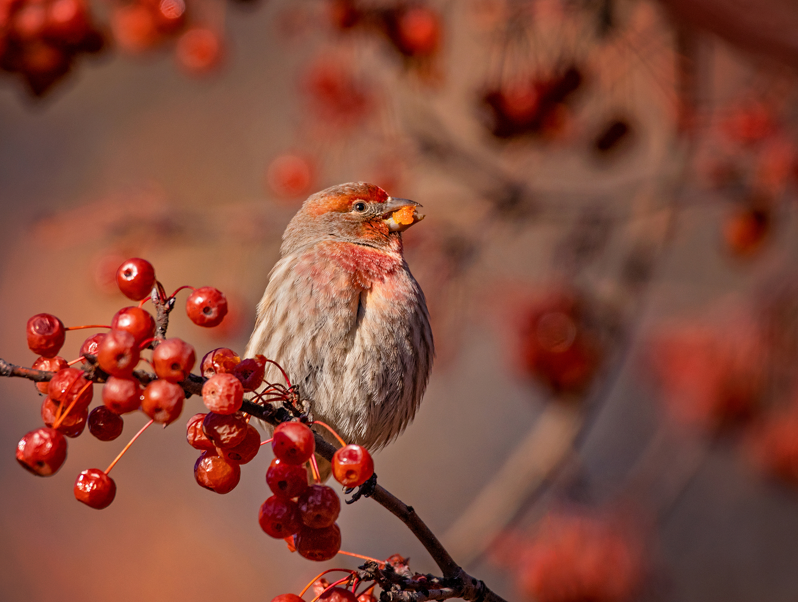 House finch visiting crab apple tree