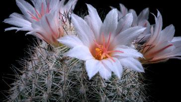 White flower of Coryphantha cactus