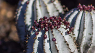 Euphorbia horrida 'Snowflake'