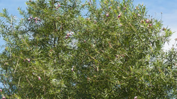 Desert willow, Chilopsis linearis