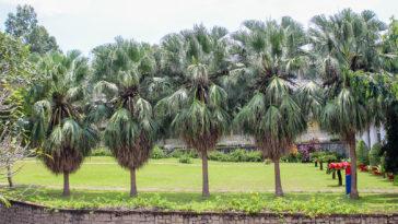 Washingtonia filifera, thread palm