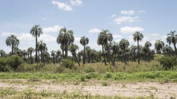 Butia palm trees
